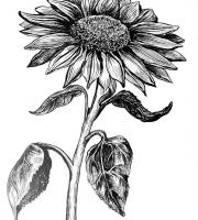 Растения в графике. Фото-3