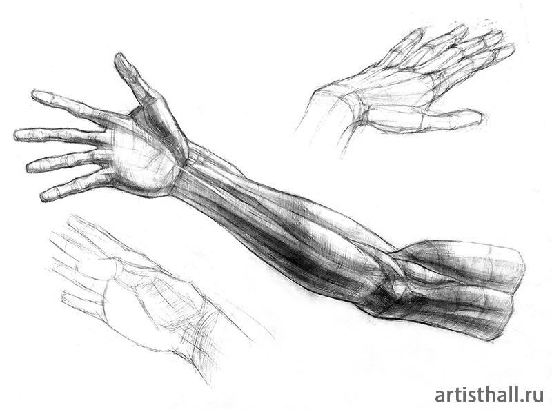 Рисунок строение руки